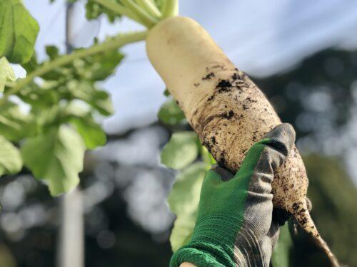 プランター菜園の大根